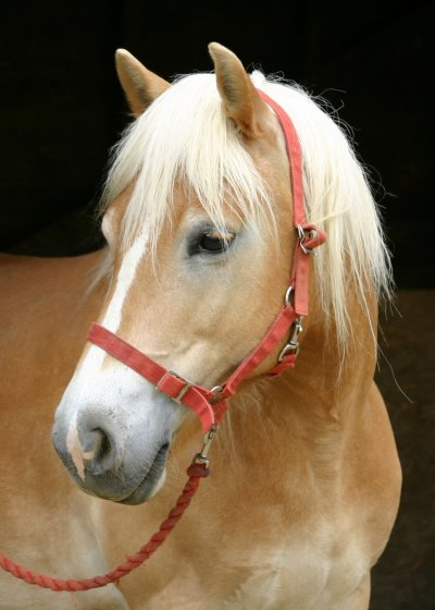A photograph of the Haflinger pony Ambelia